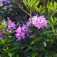 Rhododendron Flowering