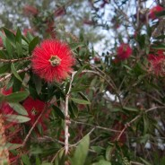 Bottlebrush in Flower