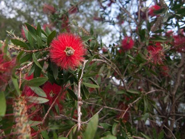 Bottlebrush in Flower